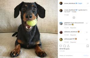 crusoedachshund-Perros-En-Instagram-BrandMe